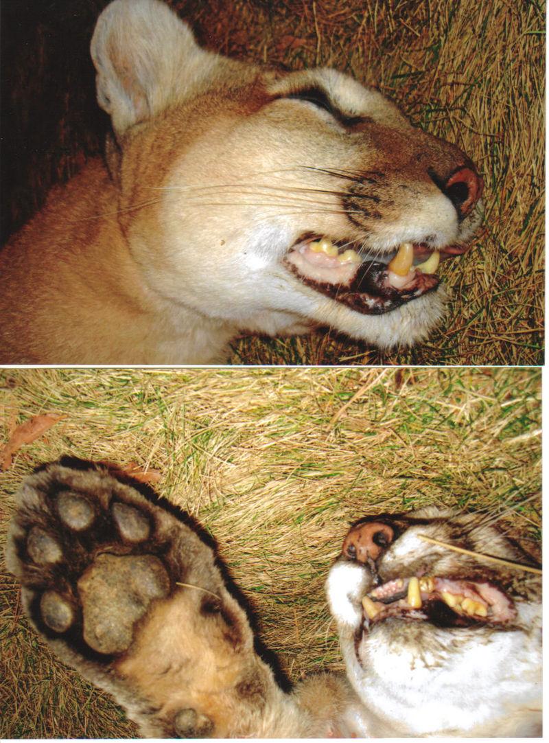 Mnt Lion Eddie Capitan 011509